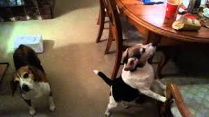 Beagles eating chicken nuggets from a bag