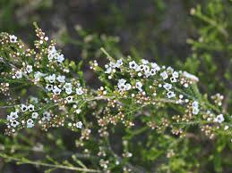 Micromyrtus ciliata – Fringed Heath Myrtle | Gardening With Angus