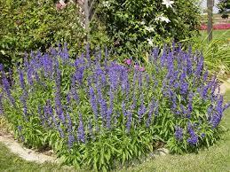 Salvia en flor | Flores medicinales, Plantas, Flores