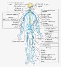 Central Nervous System Vs Peripheral Nervous System Venn Diagram 1000px Te Nervous System Diagram 20 Parts Of Nervous System