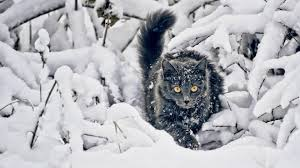 winter animal nature backgrounds. Interesting Nature Cat HD Wallpaper 1920x1080 Throughout Winter Animal Nature Backgrounds C