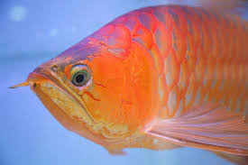 Best Tanning Light For Arowana Cosmetic Surgery For A Pet Fish In Asia This One Is King