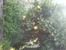 40 Best Citrus Images On Pinterest  Citrus Trees Fruit Trees And Underplanting Fruit Trees