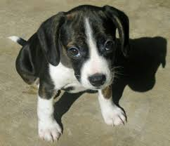 terrier pitbull mix puppies. Beautiful Terrier Boston Terrier Pitbull Mix For Sale On Terrier Pitbull Mix Puppies M