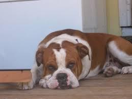 bulldogranch photo