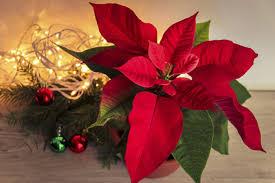 Der Weihnachtsstern So Schön Leuchtet Die Weihnachtszeit
