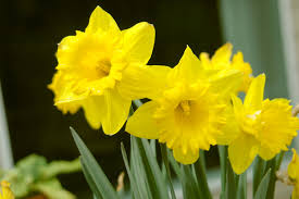daffodils for showing