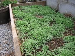 close up arugula seedlings on april 2nd