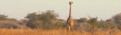 <b>Giraffe</b> | African Wildlife Foundation