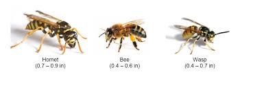 Bee And Wasp Identification Chart Uk Summer In Germany Wasps Bees And Hornets Stuttgartcitizen Com