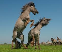 wild paint horses rearing. Brilliant Horses BattlePsBattle Two Wild Horses Rearing Up To Challenge Each Other To Wild Paint Horses Rearing