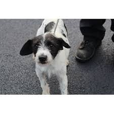 black wire haired terrier mix.  Haired Fae Wirehaired Fox Terrier Throughout Black Wire Haired Mix B