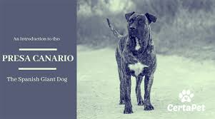 Presa Canario Weight Chart An Introduction To The Presa Canario The Spanish Giant Dog