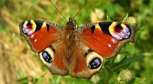 big pictures of butterflies.  Butterflies Red Alert Butterflies Like The Peacock Could Be Faced With Extinction Intended Big Pictures Of Butterflies T