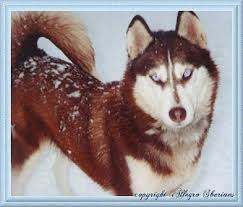 dark red husky puppy. Beautiful Puppy Dark Red Siberian Husky Puppies  Zoe Fans Blog Throughout Dark Red Husky Puppy