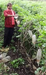 novel way to irrigate fields using plastic saline bottles gardening farming petbottle recycling irrigation saline bottle vegtable garden outdoor garden