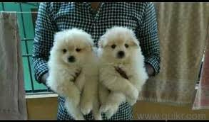 snow white pom puppy 8801109752 in ameerpet hyderabad pets on hyderabad quikr clifieds