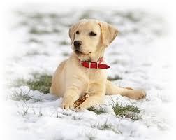 labrador retriever. Contemporary Retriever The Purpose Of The Labrador Club For Retriever R