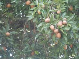 Mango Tree East Indian Variety GraftedJamaican Fruit Trees