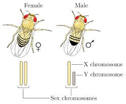 Xy Sex Determination System Wikipedia
