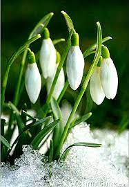 Pin di Kaye Noble su +***PRZEBIŚNIEGI,ŚNIEŻYCZKI, .... | Fiori primaverili,  Foto di fiori, Fotografia di fiori