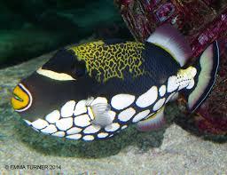 clown triggerfish. Unique Triggerfish Clown Triggerfish For
