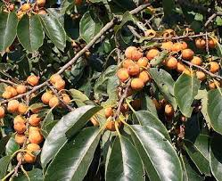Unusual And Exotic Fruit And Nut Plant Seeds From Around The WorldLotus Fruit Tree