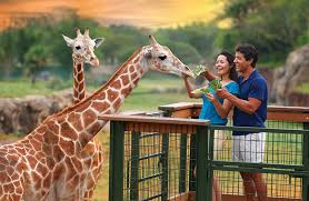 couple feeding giraffe at seaworld orlando