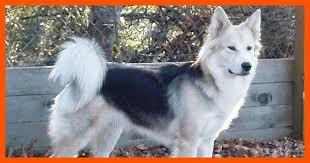 white german shepherd wolf mix puppy. Interesting Puppy German Shepherd Wolf Mix 2 On White Puppy R