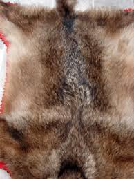 real taxidermy canadian wolf rug with tag