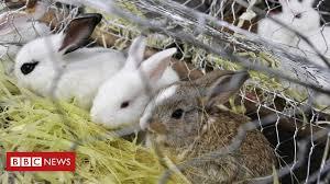 Venezuela's 'Plan <b>Rabbit</b>' encounters 'cultural problem' - BBC News