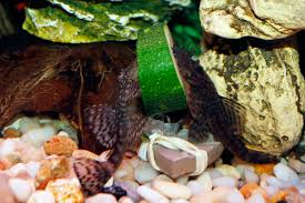 plecos aren t the only ones who appreciate vegetables
