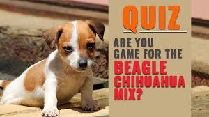 Cheagle Complete Information About Beagle Chihuahua Mix