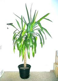 Image Plants That Tall Indoor Plants Low Light Best House Lovely No Sunlight Needed Images On Large Houseplants For Inside Australia Li Aeroverseco Tall Indoor Plants Low Light Best House Lovely No Sunlight Needed