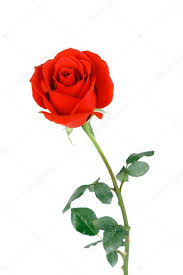 single red rose flower isolated