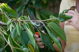 Selecting A Tree  Trees Of Antiquity Heirloom Fruit Trees For Can You Prune Fruit Trees In The Summer