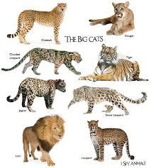 All Wild Cat Breeds Best Cat Wallpaper