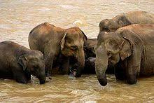 sri lankan elephant elephants bathing