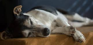 Canine Lymphoma Symptoms The Latest In Treating Canine Lymphoma Veterinary Practice