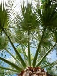 fan palm trees. sabal palmetto palm tree fan trees