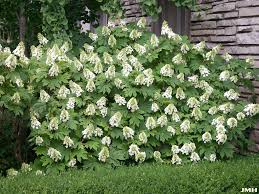 Image result for snow hill hydrangea