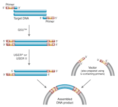 Applications Of User And Thermolabile User Ii Enzymes Neb