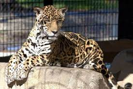 Southern University Used To Have A Live Jaguar Named Lacumba Ii That Lived On The School S Campus Until 2004 When She Unexpe School Campus Baton Rouge Southern