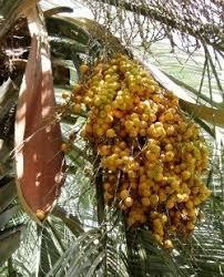 Edible Palms An Introduction To Palm Fruits  Daveu0027s GardenPalm Tree Orange Fruit