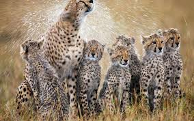 1920x1200 cheetah wallpaper 10449 best free desktop hd wallpapers