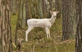 meaning the deer spirit