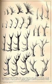 Antler Growth Chart Art Antlers Animal Drawings