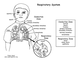 Small Picture Respiratory System Coloring Page MiddleHigh School