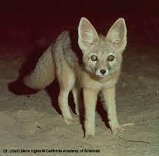 nocturnal desert animals. Beautiful Desert The Desert Kit Fox Is The Smallest Member Of Dog Family Found In North  America And Common Open Desert Living Creosote Covered Alluvial  With Nocturnal Desert Animals A