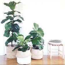 office pot plants. Office Plant Ideas Fiddle Leaf Fig Tree Low Maintenance Plants And Pot
